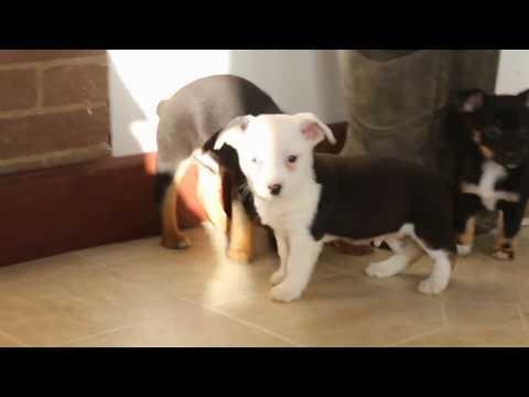 Mini Australian Shepherd Mix Puppies For Sale