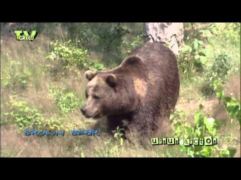 brown bear - bruine beer - ursus arctos #05
