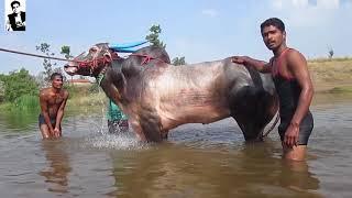 Racing bull- लक्ष्या बैल part -2 व्यायाम,चालक, आणि बरच काही with English subtitles