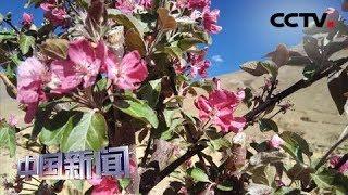 [中国新闻] 西藏南木林高原海棠节盛大开幕 | CCTV中文国际