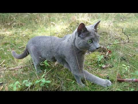 Caspian, a Russian blue cat on a walk in the woods, playing with a stick