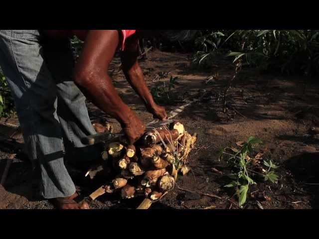 transformando la yuca brava en alimento Videos De Viajes