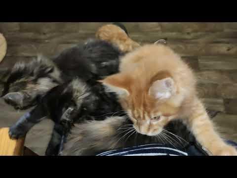 """Котята Мейн Кун VII сезон. Питомник """"Lovitven"""""""