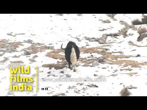 Yaks in snow covered Himalayas of Ladakh