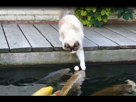 Timo the Ragdoll Cat- playing with his koi fish friends