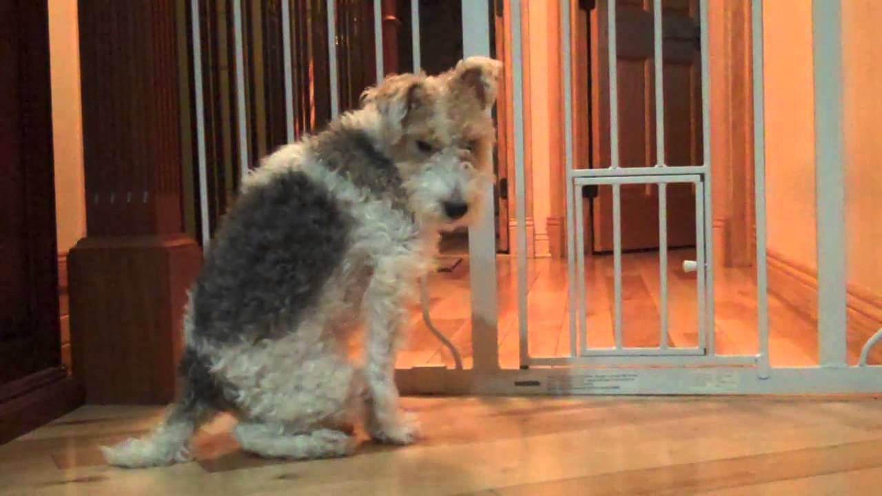 FELIX THE WIRE FOX TERRIER - WELCOMES NEW GIRL TO RESCUE - YouTube
