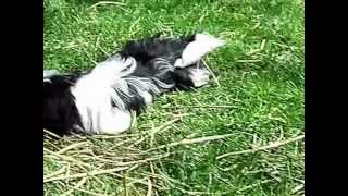 Small Is A Black And White Shih Tzu