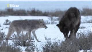Восхождение чёрного волка