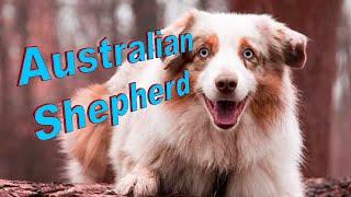 Australian Shepherd Dog Breed Info.  How to Choose Dogs