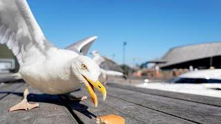 باحثون يكشفون عن طريقة غريبة لمنع طيور النورس من سرقة الطعام Youtube