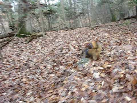 Dachshunds tracking deer