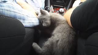 British Shorthair. Long travel with our baby*cattery Calmcat British