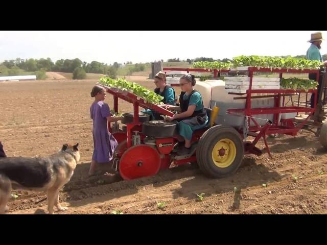 UNITRIUM 2 ROWS TOBACCO TRANSPLANTER PULLED BY HORSES