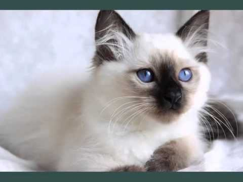 Birman Chocolate Point | Picture Ideas Of Cats