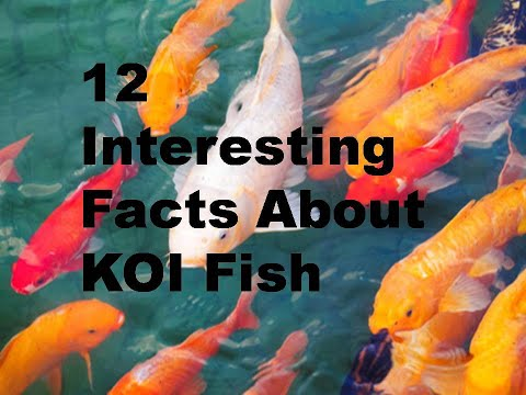 12 Interesting Facts About KOI Fish
