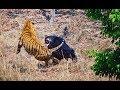 Vídeo flagra luta feroz entre urso e tigre na Índia Fêmea de urso beiçudo encarou o felino filhote