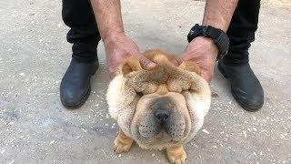 كلب الشاربي العجيب و الغريب مع جمال العمواسي