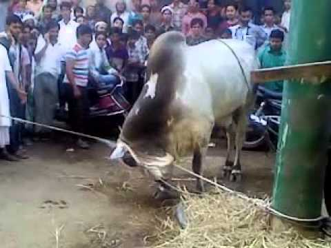 angry bull qurbani (1) - YouTube