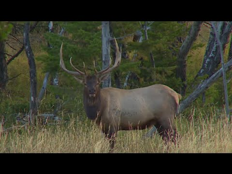 Will Primos Bowhunting Montana Elk