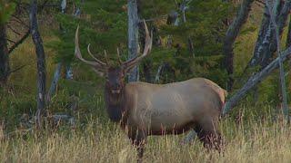 Will Primos Bowhunting Montana Elk