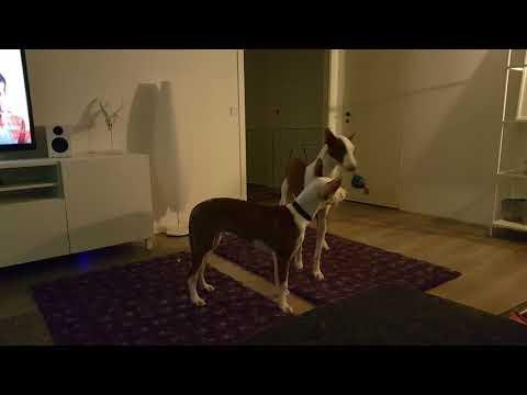 Ibizan Hound / Podenco Ibicenco  Puppy & Adult