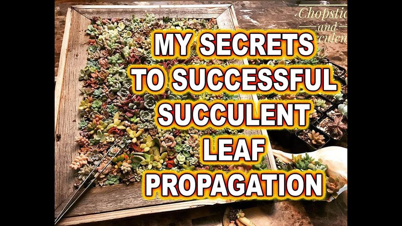 How to successfully propagate succulents from leaves