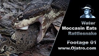 Water Moccasin Eats Rattlesnake 01 Stock Footage