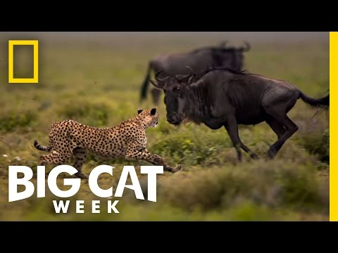 Usain Bolt vs. a Cheetah | Man v. Cheetah