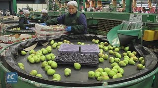 Chile seeks to conquer Chinese palate with its pears