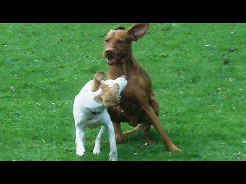 Beagle Jeeves legging it with Vizsla Archie.