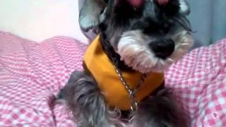 山口県のペットショップ タレント犬「ケリー」の日常です。 訓練はかか...