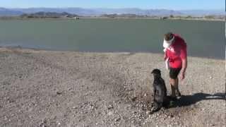 Labrador Retriever Dog Learning Through Manipulation Of Energy