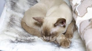 Знакомьтесь: кошки-собаки бурманской породы