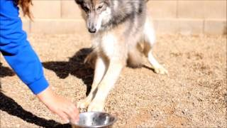 Resource Guarding - Wolf Hybrid Behavior Modification