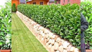 Artic King laurel Hardy evergreen hedge,