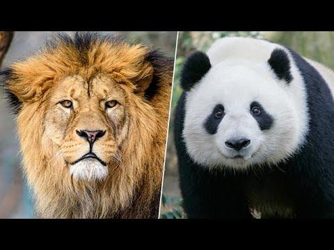 אריות או פנדות? אין מקום לכולם