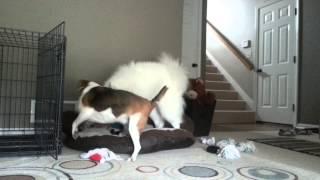 Samoyed, Beagle, And Yorkie Playing