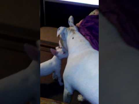 Bart Starr Bull Terrier puppy plays with star the Pitbull