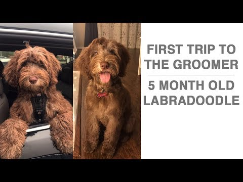 Puppy first trip to the groomer + Puppy Costumes | 5 month old Labradoodle Puppy