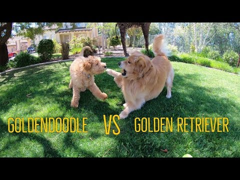 Puppy Play Time Goldendoodle vs Golden Retriever | Oshies World