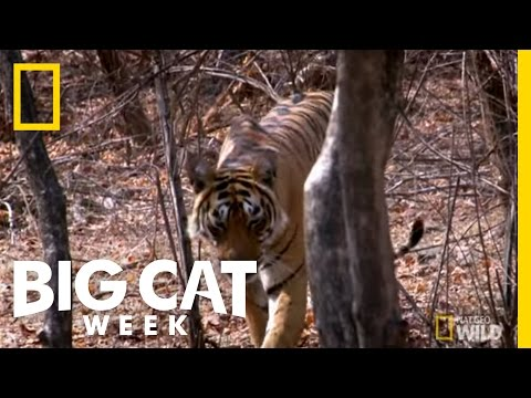Hide And Big Cat Seek | Big Cat Week