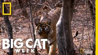Hide and Big Cat Seek | Big Cat Week