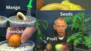 Mango und Avocado Aussaat. Avocado umtopfen in mineralisches Substrat