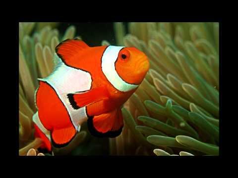 Focus On Species: Clownfish (aka Anemonefish)