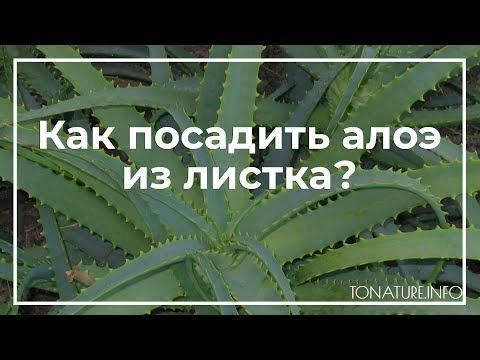 Как посадить алоэ из листка? | toNature.Info