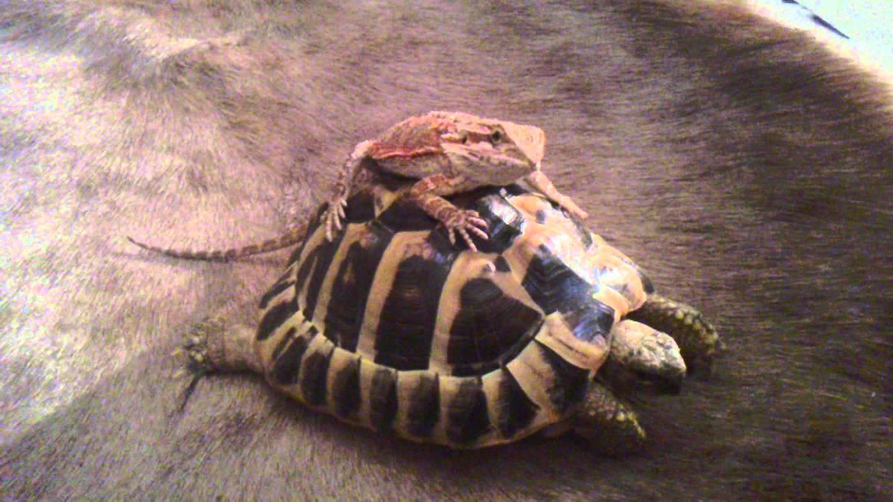 Bearded Dragon Rides Tortoise Youtube
