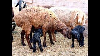 Про болезни овец,витамины, прививки и  препараты.