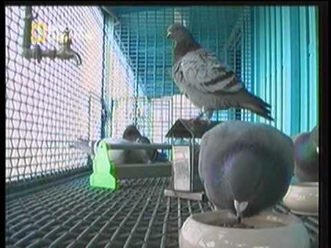 Taiwan to the World   Pigeon Game Part 2