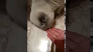 Кошка смешно ест селёдку.