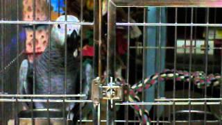 灰鸚鵡小乖乖 在6個月大時就會講好幾句話了唷^^